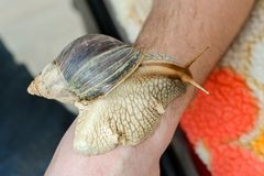 Giant snail crawling on the hand of an adult. pet stock image