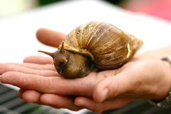 Giant Snail For Sale Royalty Free Stock Image