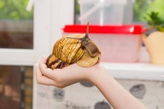 Giant snail. Sits on the hand Royalty Free Stock Photography