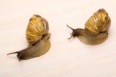 Giant snails. Crawl on the table Stock Photo