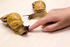 Giant snails. Crawl on the table Stock Photos
