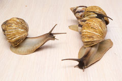 Giant snails. Crawl on the table Royalty Free Stock Photo