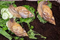 Giant snails. Creep along the ground and green leaves Stock Image