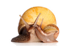 Giant snails kissing Stock Images