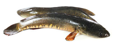 Giant snakehead fish. Over white background Stock Photography