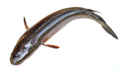 Giant snakehead fish Royalty Free Stock Photography