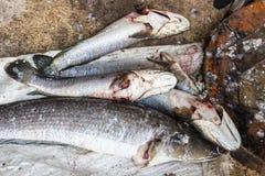 Giant snakehead fish. Royalty Free Stock Image