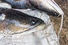 Giant snakehead fish. Stock Photo
