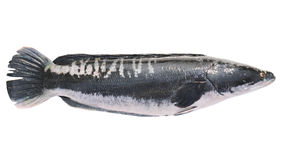 Giant snakehead fish isolated on white background Stock Image
