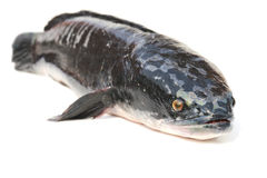 Giant snakehead fish  on white background Stock Photos