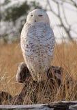 Giant Snowy Owl Stock Photo