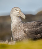 Giant Southern Petrel nesting Royalty Free Stock Images