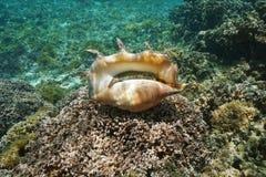 Giant spider conch shell alive specimen underwater Stock Photo