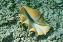Giant spider conch shell Lambis truncata bottom. A giant spider conch shell, Lambis truncata, bottom part, marine gastropod mollusk underwater, alive specimen Stock Image