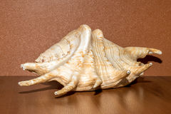 Giant spider conch shell or Lambis Truncata. On brown background Stock Photos