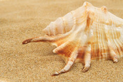 Giant spider conch shell on the sand Stock Photo