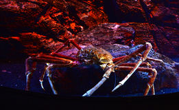Giant spider crab on aquarium. Spider crab on a sea on aquarium - Giant spider crab emerging from the sea between rocks on the sea shore stock photography