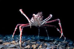 Giant Spider Crab on black background. Portugal stock photo