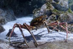 Giant spider crab. Emerging from the sea between rocks on the sea shore royalty free stock photography