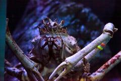 Giant spider crab known as Macrocheira kaempferi Stock Images