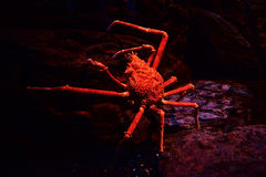 Giant spider crab. Spider crab on a sea on aquarium - Giant spider crab emerging from the sea between rocks on the sea shore stock photography