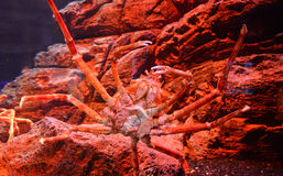 Giant spider crab Stock Images