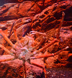 Giant spider crab. Spider crab on a sea on aquarium - Giant spider crab emerging from the sea between rocks on the sea shore royalty free stock photo