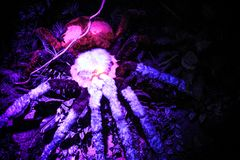 The giant spider crab in Siam oceanarium Royalty Free Stock Photography