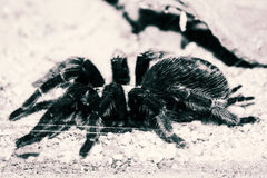 Giant spider. Image black and white stock photo