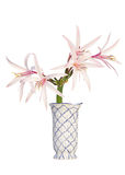 Giant Spider Lily in a flower vase isolated Royalty Free Stock Image