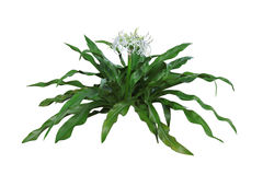 Giant Spider Lily Royalty Free Stock Photo