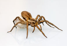 A giant spider Royalty Free Stock Photo