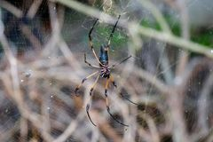 Giant spider of Seychelles. Mahe island. Jungle forest Stock Photography