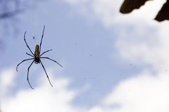 Giant spider and a small one Stock Image