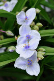 Giant Spiderwort. Blue flowers of Giant Spiderwort Royalty Free Stock Image