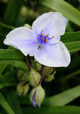 Giant Spiderwort. From meadow in garden in Brussels close up image Stock Photos