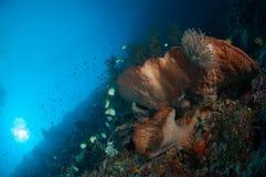 Giant spone bunaken sulawesi indonesia underwater Royalty Free Stock Images