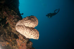 The Giant sponge (Petrosia lignosa) is native to Gorontalo, Indonesia. Its grows up to 3 meters height. Its called Salvador Dali. Royalty Free Stock Photo
