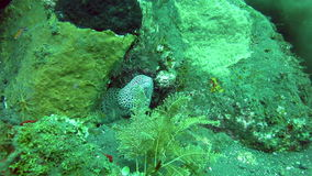 Giant spotted moray hiding  amongst coral reef on the ocean floor, Bali. stock video