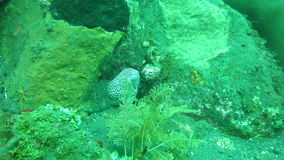 Giant spotted moray hiding amongst coral reef on the ocean floor, Bali stock footage