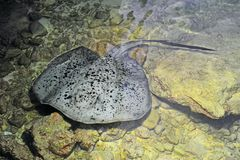 Giant spotted stingray Stock Image