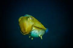 Giant squid bunaken indonesia sepia latimanus underwater photo Stock Images