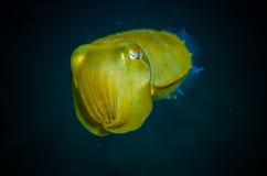 Giant squid bunaken indonesia sepia latimanus underwater photo Royalty Free Stock Photography