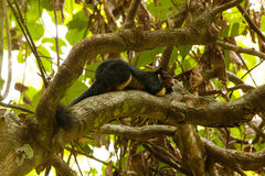 Giant squirrel in forest of Sri Lanka Stock Image