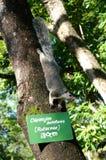 Giant squirrel in Sri Lanka Royalty Free Stock Image