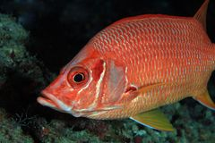 Giant Squirrelfish Stock Image