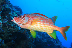Giant Squirrelfish Royalty Free Stock Photo