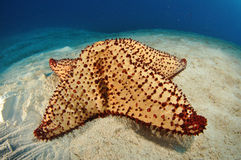 Giant Starfish Royalty Free Stock Photos