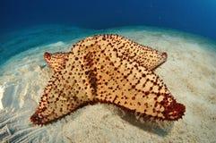 Giant Starfish Royalty Free Stock Photos