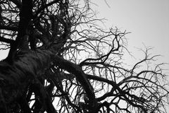 Giant Stark Tree in Black and White. Incredible branches and sheer size make this stark tree a wonderful subject Royalty Free Stock Image